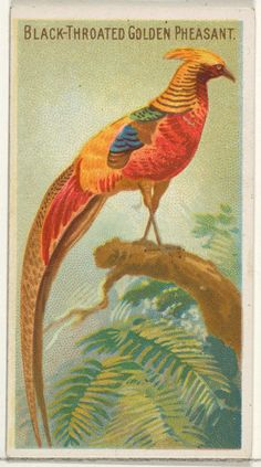 Black-Throated Golden Pheasant, from the Birds of the Tropics series (N5) for Allen & Ginter Cigarettes Brands : Free Download & Streaming : Internet Archive Exotic Birds, Colorful Birds, Golden Pheasant, Birds Of America, Funny Birds, Junk Art, Little Birds, Animals Of The World, Chinese Painting