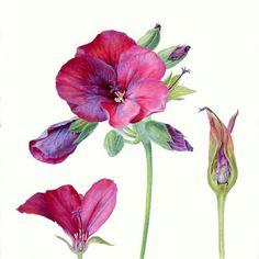 Carolyn Jenkins, Pelargonium: