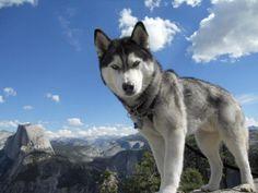 9. Husky siberiano