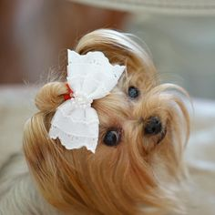 Yorkshire Terrier – Energetic and Affectionate Toy Yorkshire Terrier, Yorkshire Terrier Haircut, Cute Puppies, Cute Dogs, Yorkie Haircuts, Dog Suit, Baby Pugs, Yorkie Puppy, Teacup Yorkie