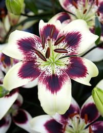 Image of Patricia's Pride Asiatic Lily