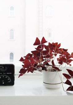 Oxalis Triangularis (Oxalis regnellii 'Atropurpurea') My next house plant! Green Plants, Potted Plants, Indoor Plants, Purple Shamrock, Oxalis Triangularis, House Plants For Sale, Belle Plante, Decoration Plante, Plants Are Friends
