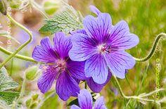 Pompás Gólyaorr(Geranium x Magnificum,tőosztással Geraniums, Design Projects, Garden Design, Plants, Yard, Patio, Landscape Designs, Plant, Courtyards