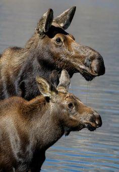 Bob Bailey   Moose & calf