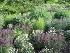 Salvia 'East Freisland mingled together with Allium schoenoprasum 'Schnitlauch'  a short chives.  Also appearing is Peony 'Scarlet O'hara' ,  Coreopsis 'Golden Showers' and Geranium 'Orion'