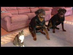 Un gato y sus amigos rottweiler