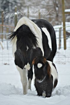 Horse Friends…Dozer is a Fresian/paint gelding and Diddo is his Miniature Buddy…. Friends come in all shapes and sizes Owned and photographed by Amber Bond Cute Horses, Horse Love, Beautiful Horses, Animals Beautiful, Cute Animals, Poney Miniature, Majestic Horse, Kittens And Puppies, All Gods Creatures