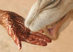 photo by David Dennis - camel checks out offered hand in Berber village of Ouigane in Morocco