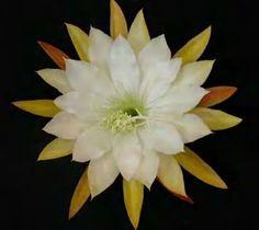 Epiphyllum DEUTCHLAND