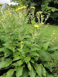 Robust und eindrücklich: der Riesen-Alant (Inula magnifica)!
