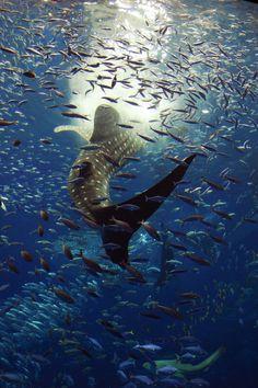 Incrível tubarão baleia.