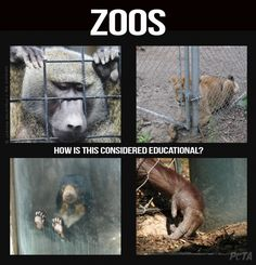 "Zoos have long tried to hide the cruelty of captivity behind a mask of ""conservation education."" But a new study shows that learning is usually not the outcome. Save Animals, Zoo Animals, Witty Remarks, Not My Circus, Vegan Memes, Animal Help, Stop Animal Cruelty, Sea World, Animal Welfare"