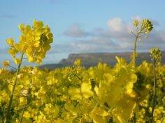 Broighter Gold Rapeseed Oil, Limavady, Northern Ireland - Home   Broighter Gold Rapeseed Oil