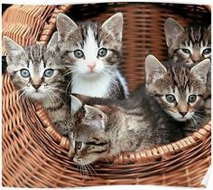 Cute and adorable and grey tabby kittens in a basket Poster