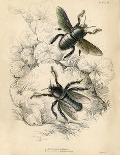 "Natural History Printable Bees from Graphics Fairly Blog states ""apparently some type of carpenter bees"""
