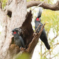TIL: When it comes to playing the drums the palm cockatoo is the animal kingdoms match for Ringo Starr or Phil Collins. Ringo Starr, Can Dogs Eat Grapes, Animal Articles, How To Play Drums, Chimpanzee, Cockatoo, Zoology, Bird Species, Wild Birds