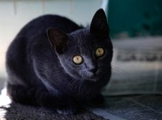 Cuban Blue Cat