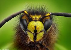 Flying head-on: The photos are the result of an ingenious photography technique using a microscope. Pictured is the head of a Vespula Vulgaris