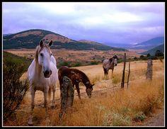 #Spain #España #El Espinar Segovia #San Rafael Segovia #Segovia #Horses #Caballos #Luis Casado Bermejo #Luis Montenegro : Horses In Winter | Amazing pics