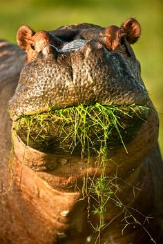Hippo ... Is there somethin' stuck in my teeth?