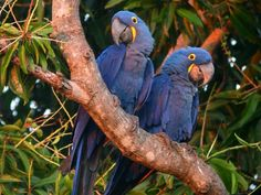 Hyacinth Macaws are so huge that sometimes your telephoto lens is overkill
