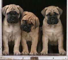 Bullmastiff puppies... love.