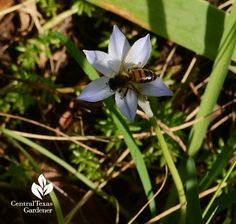 bee spring starflower Central Texas Gardener