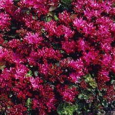 Kaukasianmaksaruoho. Mitkä kasvit paahteiselle parvekkeelle?