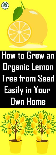 How to Grow An Organic Lemon Tree from Seed Easily in Your Own Home! Next time you'r sucking on a lemon save a few of the seeds to grow into your own tree. Even in the colder months, a productive lemon tree can be growing inside of your home. Leg Pain, Back Pain, Thyroid Problems, Health Problems, Natural Home Remedies, Natural Healing, Herbal Remedies, Health Remedies, Holistic Remedies