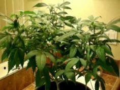 How to Easily Grow Marijuana Hydroponically  http://www.growingmarijuanaebook.com/