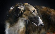 Russischer Windhund schönen, eleganten Hund