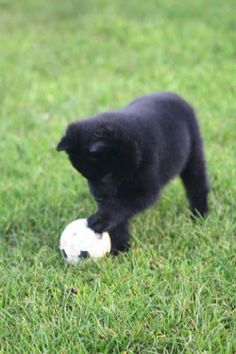 Schipperke (pronounced SKIH-puhr-kee). On ships, they were the captain's dog :)