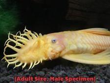 L144a Longfin Blue Eye Lemon Bristlenose Pleco Ancistrus Sp Tank Raised Fish Freshwater Aquarium Aquarium Fish