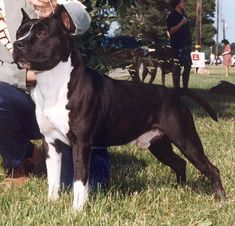 American Staffordshire Terriers, Bull Terriers, Rottweiler, Pit Bull, Large Dog Breeds, Foxes, Rock, Animals, Guard Dog