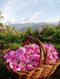 Valley of roses, Bulgaria, Kazanluk