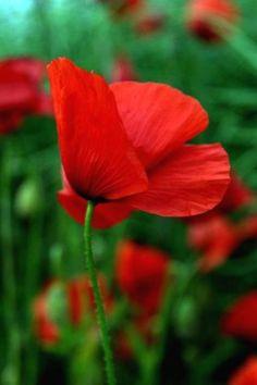 "RED POPPY ~ Papaveraceae ~ ""Pleasure, Extravagance"""