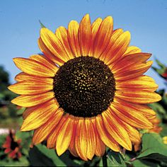 Garden Flowers Velvet Queen - This Annual Sunflower Produces 8 Inch Blooms On 4 To 5 Foot Stalks. The Flower Petals Have Various Shades Of Orange And Yellow With A Large Black Center. Types Of Sunflowers, Growing Sunflowers, Sunflowers And Daisies, Sunflower Garden, Sunflower Art, Sunflower Seeds, Sunflower Quotes, Sunflower Colors, Sunflower Pictures