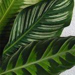 Calathea Leaf
