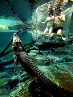 """Crocosaurus Cove is an aquarium (located in Darwin city, Australia) which is maybe most famous for its """"Cage of Death"""" where you can have a little swim with massive saltwater crocodiles ( the largest Saltwater Crocodiles in captivity). Aquariums, Dream Vacations, Vacation Spots, Places To Travel, Places To See, Saltwater Crocodile, Adventure Is Out There, Australia Travel, The Good Place"""