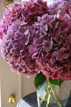 hydrangea Rodeo classic violet