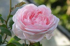 Eglantyne duftende, vokser lidt mere opret end mange andre engelske roser. Fås som opstammet og som alm. rosenbusk. Dog er modtagelig for skimmel og rust så derfor er hun nødt til at få en omgang eller 3 med Baymat Ultra mod svampesygdomme hvert år, men så blomstre hun også med de skønneste roser hele sæsonen.Selv David Austin har Eglantyne som en af sine favoritroser.