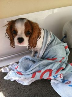 Cavalier King Charles Spaniel- First time in the water.