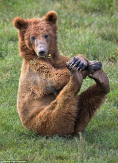 The bear crosses its front paws and uses them to strike up another position - this time with both hind legs stretched out. Brown bear's are found in the Cantabrian Mountains of Spain and can live for around 30 years