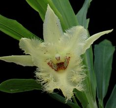 Chondrorhyncha amabilis ~ Orchidee