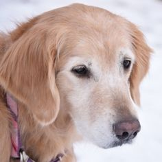 This is Kiah - 6 yrs. She is spayed, current on vaccinations, potty trained, no home small kids. She is new to rescue. Golden Retriever Rescue Of The Rockies, CO. - https://www.petfinder.com/petdetail/31586260/ - http://www.goldenrescue.com/component/hikashop/product/281-kiah