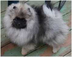 Pomeranians from Showin Poms Wolf Sable Pomeranian, Pomeranian Puppy, Wolf Black, Black Wolves, Gray Wolf, Funny Wolf, Wolf Pup, Foxes Photography, Timber Wolf