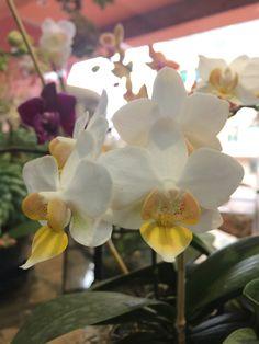 Mini Orquídea Blanca