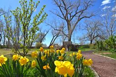 Fruit trees are blossoming and daffodils are blooming in the beds surrounding the west Cottonwood Grove. Fruit Trees, Daffodils, Beds, Restoration, Bloom, Walking, Explore, Plants, Image