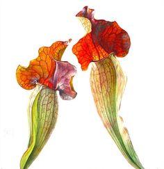 Sarracenia plant illustration by Rosie Sanders