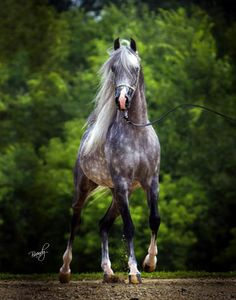 Master Jullyen V, Arabian, grey beauty, hest, horse, animal, gorgeous, beuatiful, photograph, photo